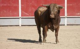 Stier in einer Stierkampfarena Stockbild