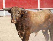 Stier in einer Stierkampfarena Lizenzfreie Stockfotos