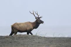Stier-Elche auf Strand Lizenzfreie Stockbilder