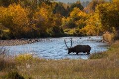 Stier-Elche beim Trinken im Fluss Lizenzfreies Stockbild