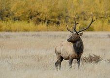 Stier-Elche in den Fallfarben lizenzfreie stockfotos