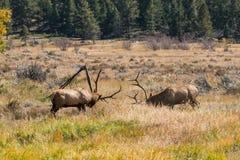 Stier-Elche, die Dominace anzeigen Stockbild