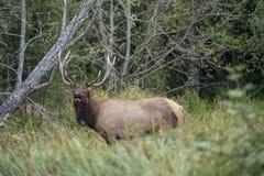 Stier-Elche, die einen Kameraden fordern lizenzfreies stockbild