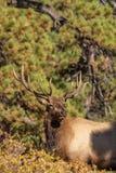 Stier-Elche, die an Haupt schauen Lizenzfreie Stockfotografie