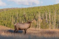 Stier-Elche, die weg in der Wiese schauen Lizenzfreie Stockbilder