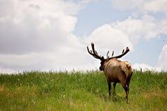 Stier-Elche gegen blauen Himmel Lizenzfreie Stockfotografie