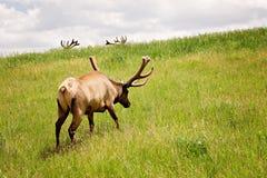 Stier-Elche gegen grünen Hügel und Geweihe Stockfotografie