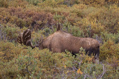 Stier-Elche im Samt Stockfoto
