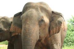 Stier-Elefant Stockfoto