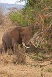 Stier-Elefant Stockbild