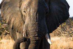 Stier-Elefant, der in Richtung zu uns wandert Lizenzfreies Stockfoto