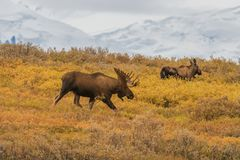Stier en de Amerikaanse elanden van Koealaska Yukon royalty-vrije stock afbeelding