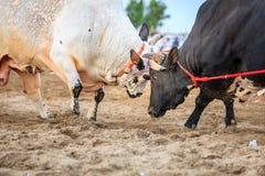 Stier-Fighting in Fujairah Lizenzfreie Stockfotos