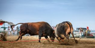 Stier-Fighting in Fujairah Lizenzfreies Stockfoto