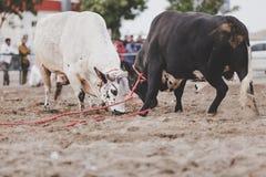 Stier-Fighting in Fujairah Lizenzfreie Stockbilder