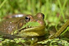 Stier-Frosch im Wasser lizenzfreies stockfoto
