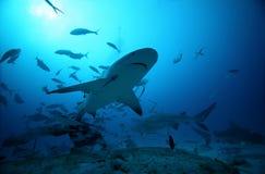 Stier-Haifisch stockfotos