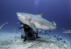 Stier-Haifisch-Fütterung lizenzfreie stockfotografie