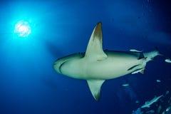 Stier-Haifisch im blauen Ozeanhintergrund lizenzfreies stockbild
