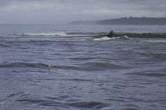 Stier-Haifisch am Mund Sirena Rivers, Nationalpark Corcovado, Osa Peninsula, Costa Rica lizenzfreies stockfoto
