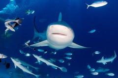 Stier-Haifisch, wenn bereit bei der Fütterung anzugreifen lizenzfreie stockfotografie