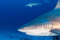 Stier-Haifisch, wenn bereit bei der Fütterung anzugreifen stockfotografie