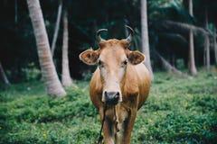 Stier in het midden van het bos van Thailand royalty-vrije stock fotografie