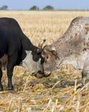 Stier-Kämpfen stockbild