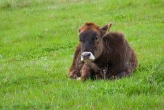 Stier-Kalb an der Frühlingsweide Lizenzfreies Stockbild