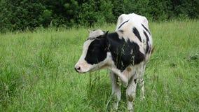 Stier lassen Grasviehbremse weiden stock video