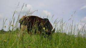 Stier lassen Grasviehbremse weiden stock footage