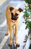 Stier-mastiff hondpuppy Royalty-vrije Stock Afbeeldingen