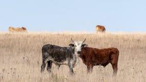 Stier met twee organismen op het gebied royalty-vrije stock afbeelding