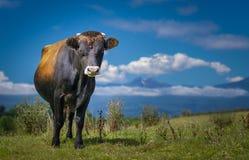 Stier oder Kuh, die mit blauem Himmel und Wolken stehen Stockbild