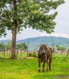 Stier onder boom Stock Afbeeldingen