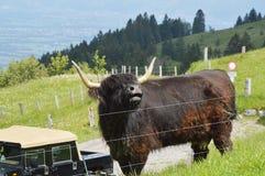 Stier op Appenzell Royalty-vrije Stock Afbeelding