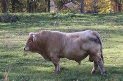 Stier op een gebied, Allier, Frankrijk Stock Afbeeldingen