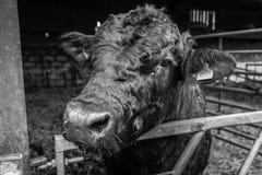 Stier op een melkveehouderij wordt gebaseerd die Stock Foto