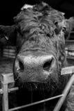 Stier op een melkveehouderij wordt gebaseerd die Stock Fotografie