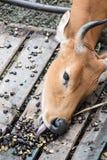 Stier-Reichweitenzunge, zum der Aubergine zu essen Stockbild