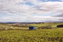 Stier-Rindfleischzufuhr auf einem Ackerland in West-Lothian, Schottland Stockfotografie