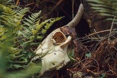 Stier-Schädel im Wald Lizenzfreies Stockfoto