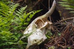 Stier-Schädel im Wald Stockfoto
