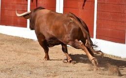 Stier in Spanje met grote hoornen stock fotografie