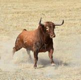 Stier in Spanje met grote hoornen stock afbeelding