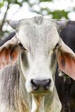 Stier stellen nah oben gegenüber lizenzfreies stockbild