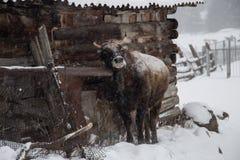 Stier tijdens de koude winter in Rusland Stock Afbeelding