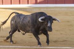 Stier ungefähr 650 Kilogramm im Sand, Andujar, Spanien Stockfotografie