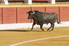 Stier ungefähr 650 Kilogramm im Sand, Andujar, Spanien Lizenzfreies Stockbild
