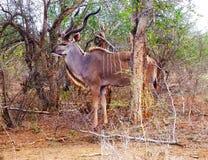 Stier van Kudu van het Kruger de Nationale Park stock foto